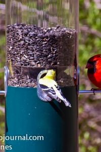 American Goldfinch and Northen Cardinal sharing bird feeder