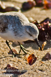 Sanderling at Hammonasset Beach State Park