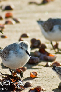 Sanderlings at Hammonasset Beach State Park