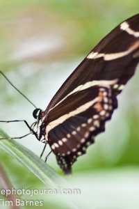 Zebra Longwing Butterfly (Heliconius charitonia)
