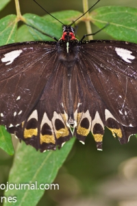 Cairn's Birdwing Butterfly (Ornithoptera priamus)