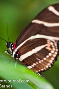 A Zebra Longwing Butterfly (Heliconius charitonia)
