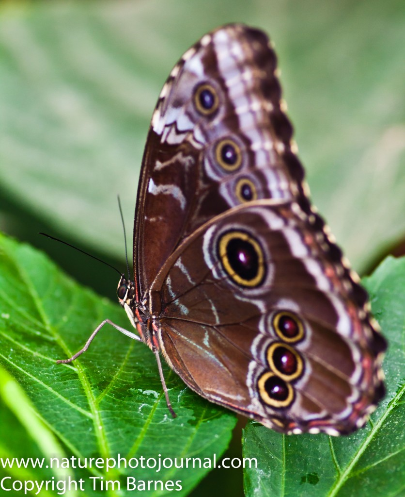 The Underside of a Blue Morpho