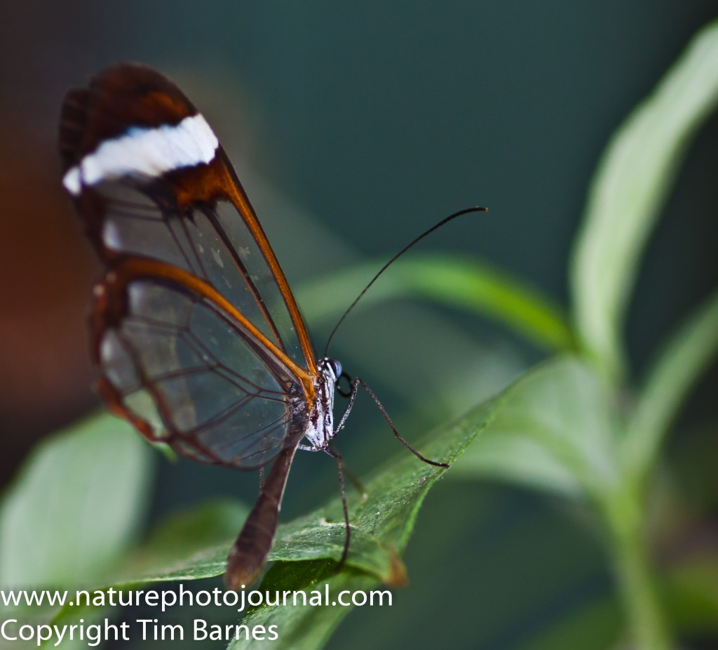 A Glass Wing Butterfly