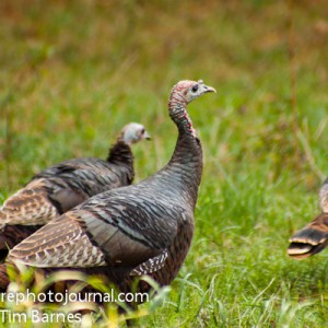 Turkeys in Litchfield County, Connecticut