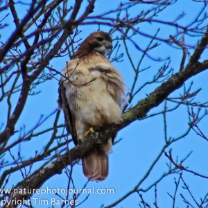 Red Tailed Hawk from White Memorial Foundation