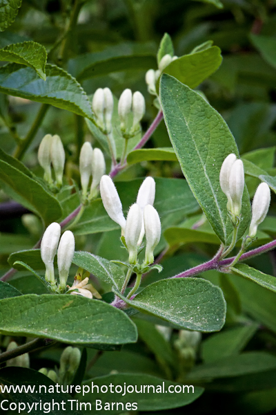 Honeysuckle buds