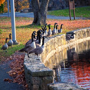 Geese Facing the Sun in Osbornedale State Park, Derby, Connecticut