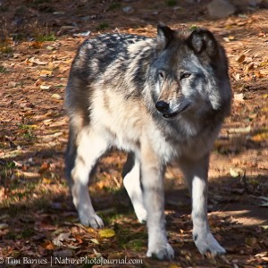 Gray Wolf at Beardsley Zoo