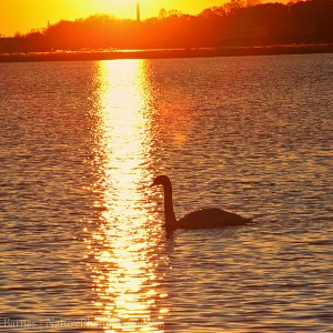 Mute Swan at Sunset - Bluff Point State Park