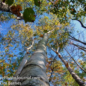 White Birch in Mohawk Mountain State Forest and Park