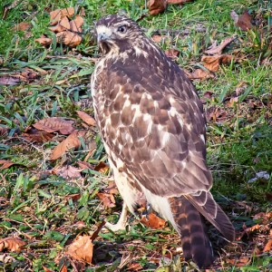 Photo of a Cooper's Hawk on the Ground