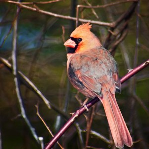 A Northern Cardinal Photo