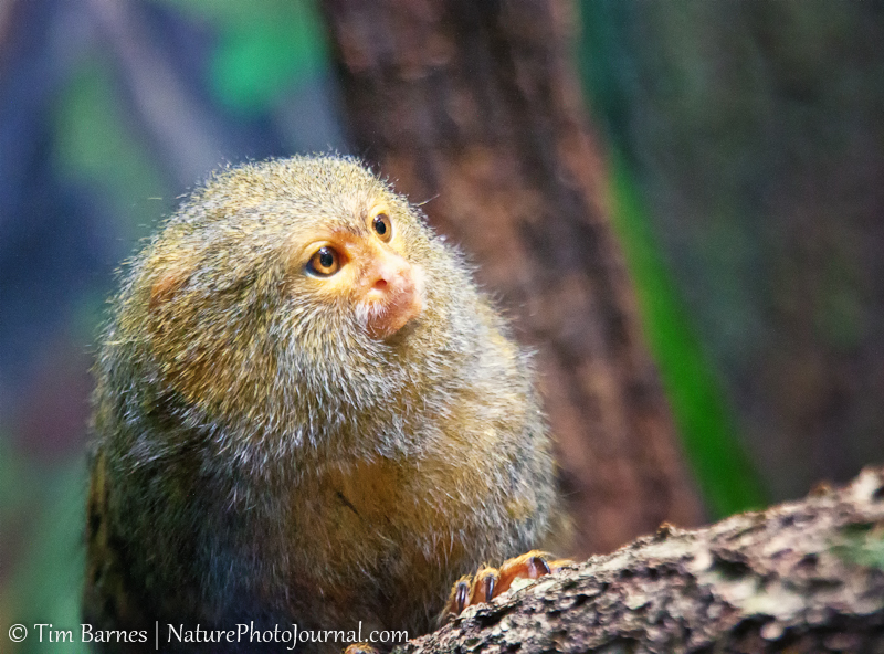 Pygmy Marmoset at Beardsley Zoo, Bridgeport, Connecticut