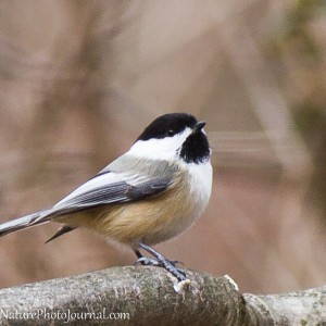 Chickadee with Canon 300 mm lens