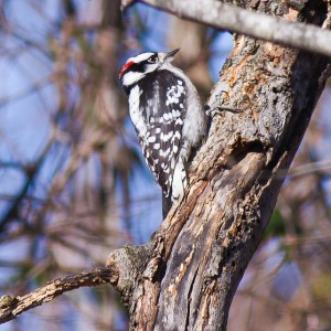 Downy Woodpecker in the winter