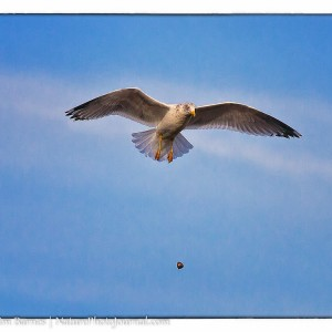 Gull Dropping Dinner