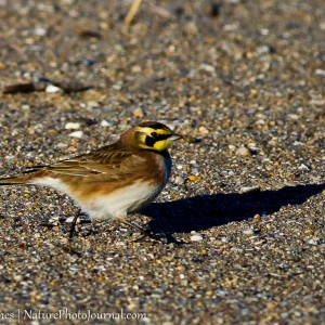 Horned Lark at Hammonasset Beach State Park
