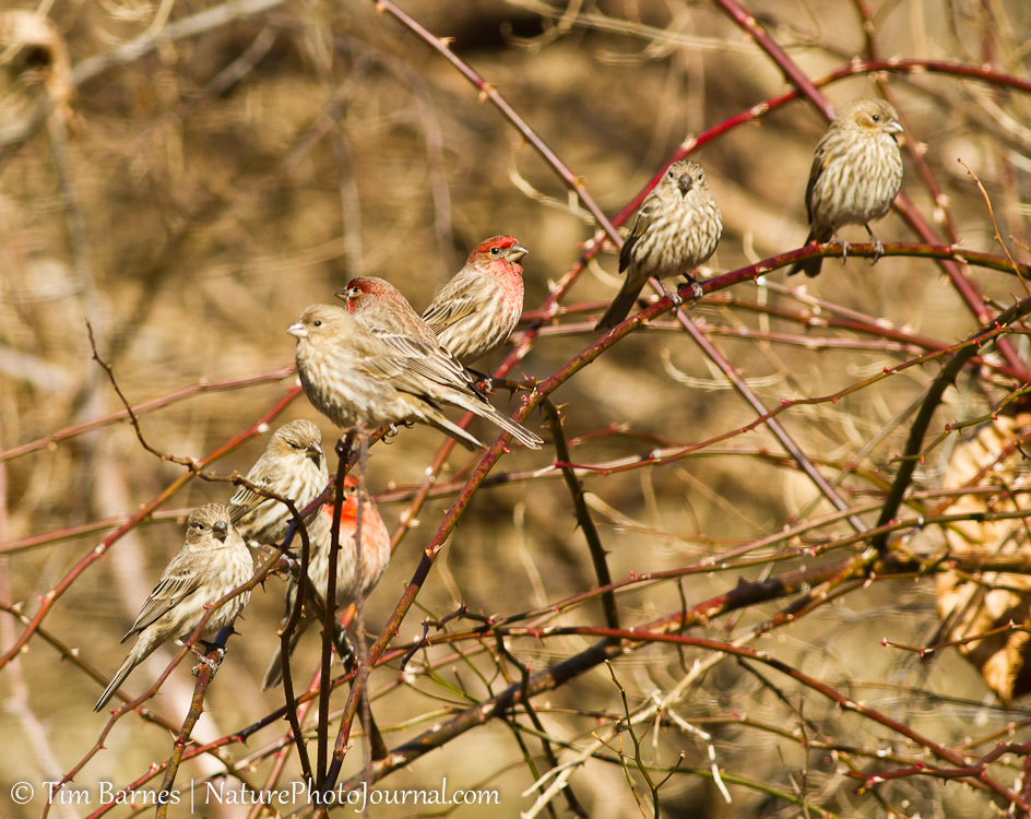 Flock of House Finches