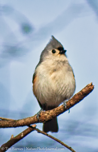 Tufted Titmouse Photographed with 300 mm F4 Lens