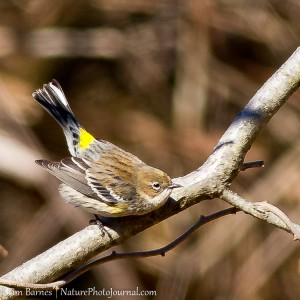 A Yellow-Rumped Warbler in Hammonasset Beach State Park
