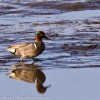 Green Winged Teal in marsh