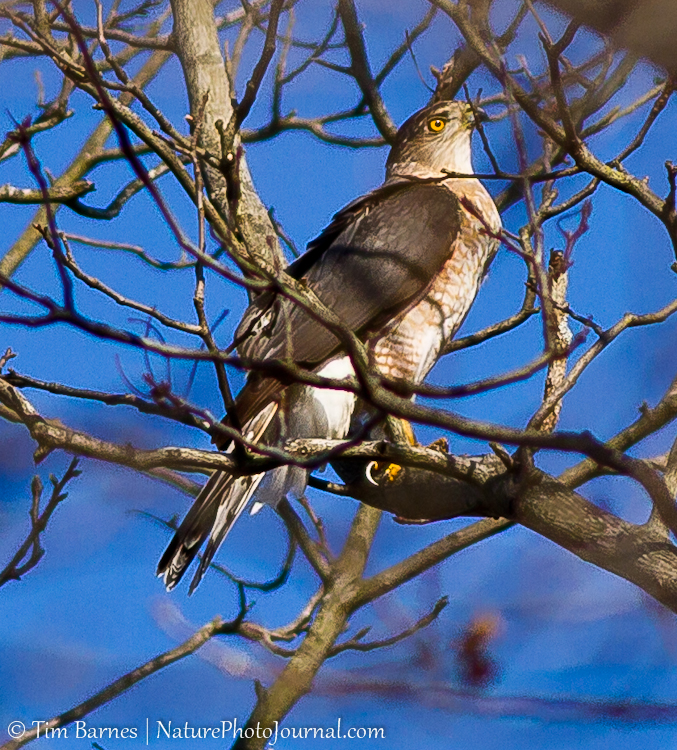 Hawk in the Backyard